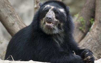 bear glancing