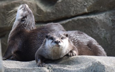 Two Asian small-clawed otters--weasel-like animals with tiny ears and sleek, wet fur--laying on large rocks