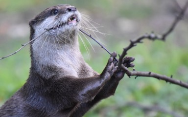 An Asian small-clawed otter--a weasel-like animal with tiny ears and sleek, wet fur--pulls and bites on a small branch