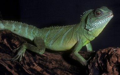 An Asian water dragon on a log