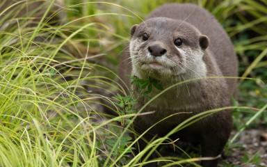 Asian small-clawed otter near grass