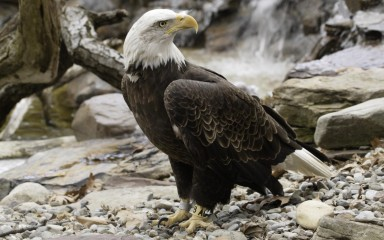 Bald eagle standing on ground with its white head and tail and yellow feet and bill