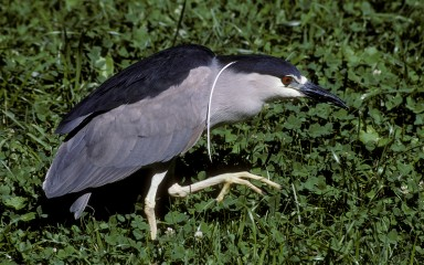 large gray bird with black cap and back. A white plume hangs across its shoulder as it gingerly steps across a lawn