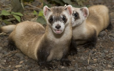 Two ferrets, one with mouth agape showing 2 sharp teeth