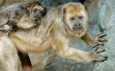 Yellowish monkey with baby clinging to its back