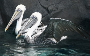 two pelicans swimming with their white heads and huge bills visible