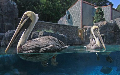 a couple of pelicans floating on the water; one looking right, the other to the left