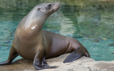 Sea lion standing on a rock with its blackish flippers visible