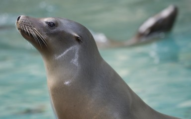 Close-up of a sea lion head showing its tiny ears and sleek, shiny gray-brown fur and large whiskers