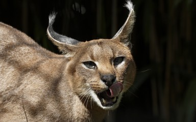 Closeup showing long ears and a snarling cat