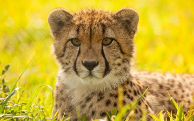 backlit cheetah resting in a field, the small rounded ears and black lines through the eyes are evident
