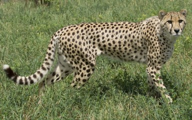large cat standing in field with long tail and legs and disproportionally small head