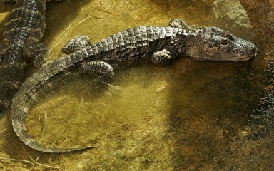 Alligator resting with its long tail curved behind