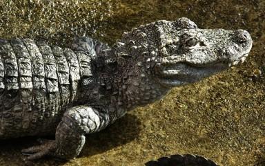 Upper body and head of a grayish alligator