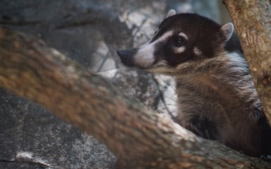 A white-nosed coati climbing on a tree branch