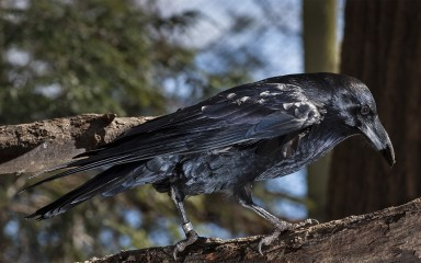 Side view of a large shiny black bird