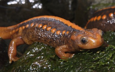 Brown salamander with bright orange spots on its back, head, tail, and stripe.