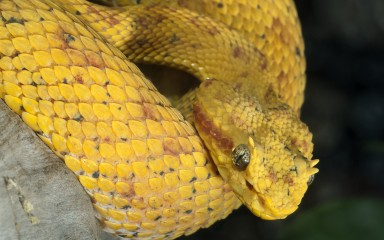 Bright yellow head of snake with hornlike projections over the eyes