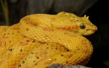 Coiled bright yellow snake with cat-like pupils