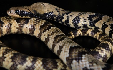 A false water cobra against a black background