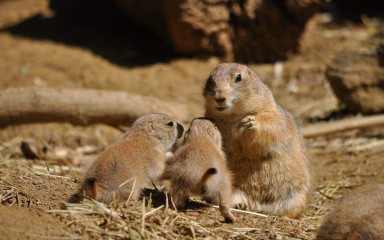 An adult and two baby prairie dogs