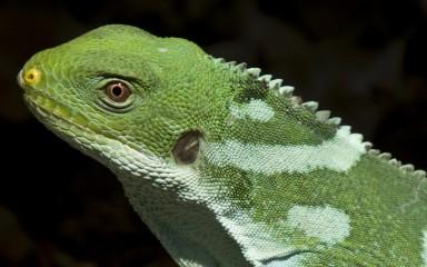 A close-up photo of a Fiji banded iguana's head