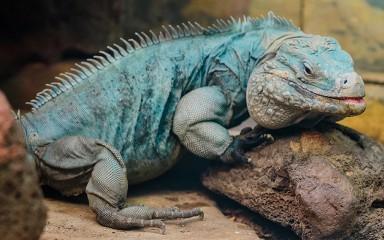 Cayman Island blue iguana rests on rock