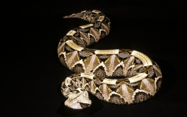 Very thick, short snake lying on a black background. The coloration is cream, buff, and brown and resembles fallen leaves.