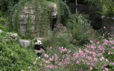 Small view of panda sitting on a hillside in its outdoor exhibit