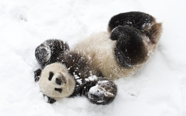 a panda rolling in the snow