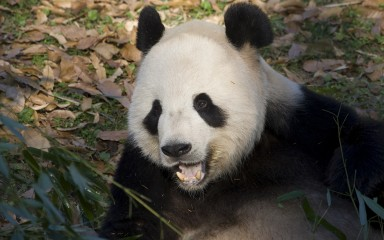 Closeup of panda with its mouth agape