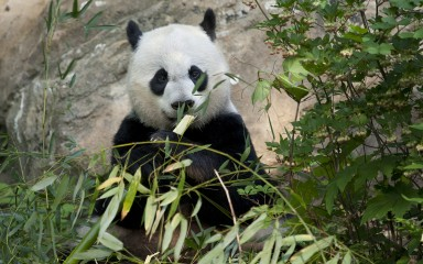 Panda chomping on bamboo