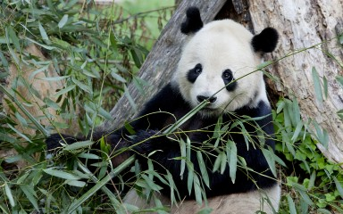 Panda with bamboo in foreground