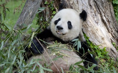 black-and-white panda resting on its back against a tree
