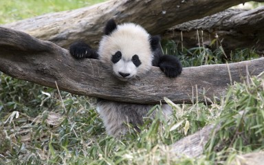 panda with head and one paw over a branch