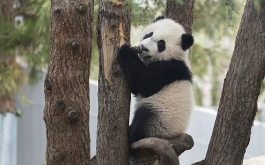 Young panda climbing a tree trunk