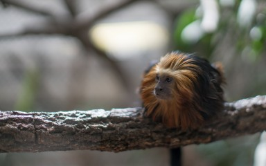 Small monkey with long black fur and a bright golden head crouching on a branch