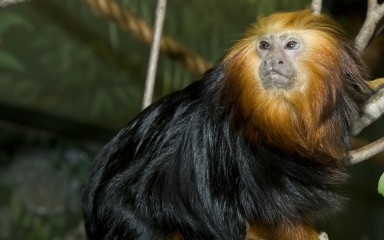 Small monkey with long black fur and a bright golden head