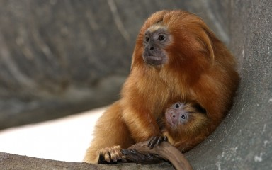 Golden Lion Tamarin and infant