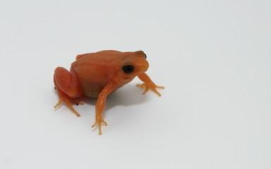 Bright orange small frog with ebony eyes