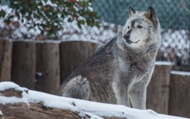 A gray wolf walking in the snow