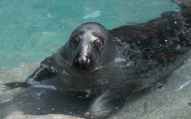 Gray seal reclining on a ledge in the water with its head above the water