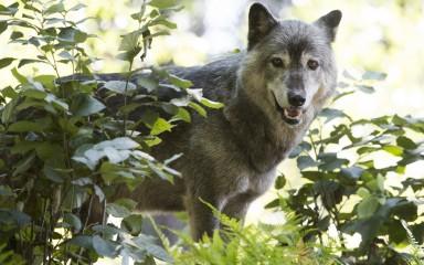 Wolf standing behind vegetation