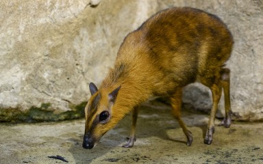 Miniature deer-like creature with golden-yellow and brown fur