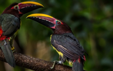 Two colorful birds with large bills, called green aracaris, perched on a branch
