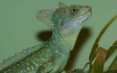 A green crested basilisk lizard