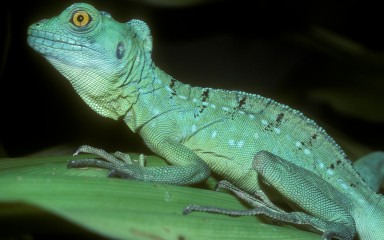 A green crested basilisk lizard sitting on a green leaf. The photo has a black background.