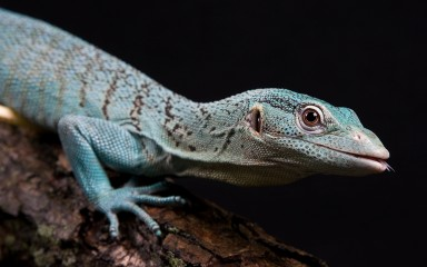 An emerald tree monitor lizard climbing on a branch. The photo has a black background.