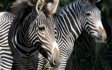 Closeup of the heads of two horselike animals with black and white stripes