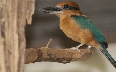 A Guam kingfisher perched on a tree branch